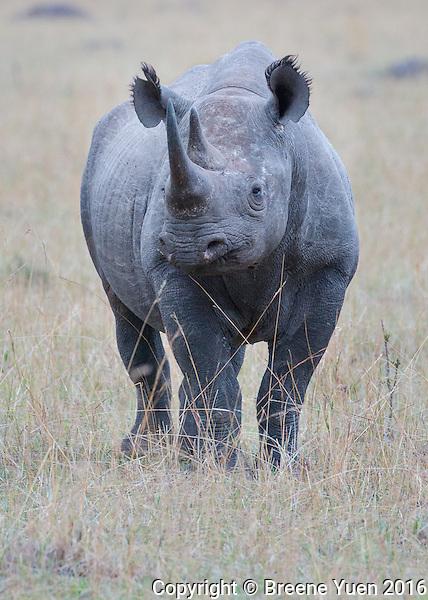 Rhino Front View  Kenya 2015