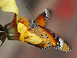 Butterfly In Motion, Plain Tiger, Danaus Chrysippus