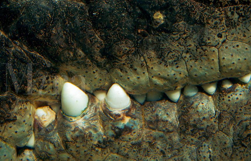 Teeth of a saltwater crocodile