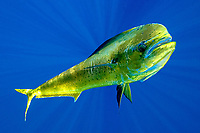Mahi mahi, Dorado, Dolphinfish, Coryphaena hippurus, Kona Coast, Big Island, Hawaii, USA, Pacific Ocean