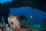 Giant barrel sponge (Xestospongia testudinaria) studded with crinoids or featherstars and diver in the background in the Arches deep underwater