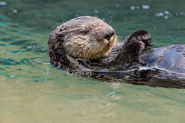 Sea Otter (Enhydra lutris) floating on back.
