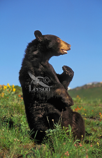 Black bears (Ursus americanus) are known for their many humorous postures. This natural comedic 'gift' has inspired many folk, fairy and tall tales.  Summer, Rocky Mountains.