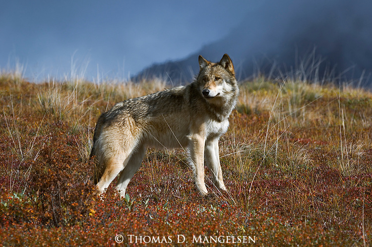 Wolf surveying the area as it stands on a hillside in Denali National Park.