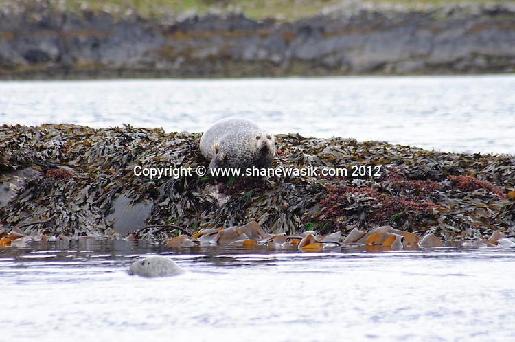 Seals are common round Scotland's coast