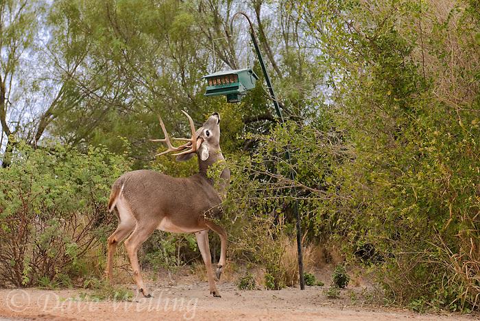 625350321 A Wild Whitetail Deer Buck Odocoileus Virginianus Attempts To Eat  Grain From A Bird Feeder