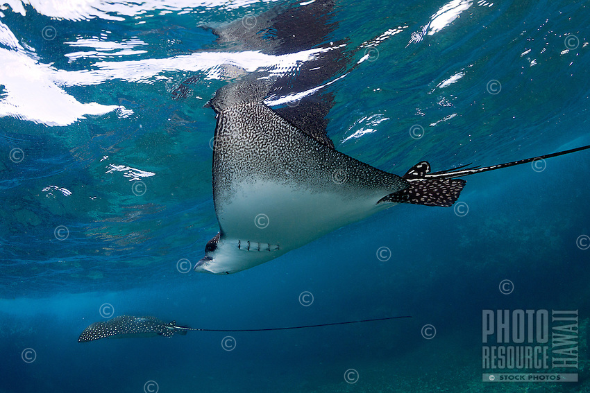 A pair of spotted eagle rays swimming along a reef in Kona, Big Island.