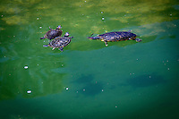 Three turtles float on the water while their shadows crawl across the bottom of the koi pond at the Japanese Garden.