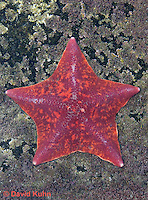 0520-1002  Red Bat Star (Bat Starfish), Asterina miniata  © David Kuhn/Dwight Kuhn Photography