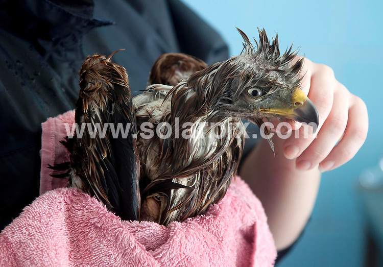 **ALL ROUND PICTURES FROM SOLARPIX.COM**.**NO UK NEWSPAPER PUBLICATION**.**UK MAGAZINE & SUPPLEMENT PUBLICATION ONLY** AND NO PUBLICATION IN AUSTRALIA, BELGIUM, FRANCE, GERMANY, ITALY, SCANDINAVIA AND USA** .The oily bird catches the worm - St Tiggywinkles wildlife hospital had one of it's more bizarre rescues this week  after discovering a red kite covered in cooking oil. The 3 year bird was found in a back garden in Burnham, near Slough, soaked from head to tail in oil...Staff at the hospital used a specialist way of washing him with a 2% solution of washing up liquid at 42 degrees F. He is recovering well and will be released when he has moulted in September. London, UK. 18 May 2010..This pic: Rescued Kite..JOB REF:  11275 SFE       DATE: 18_05_2010.**MUST CREDIT SOLARPIX.COM OR DOUBLE FEE WILL BE CHARGED**.**MUST NOTIFY SOLARPIX OF ONLINE USAGE**.**CALL US ON: +34 952 811 768 or LOW RATE FROM UK 0844 617 7637**