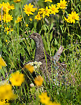 Dusky (blue) grouse hen in wildflowers. Yellowstone National Park, Wyoming.