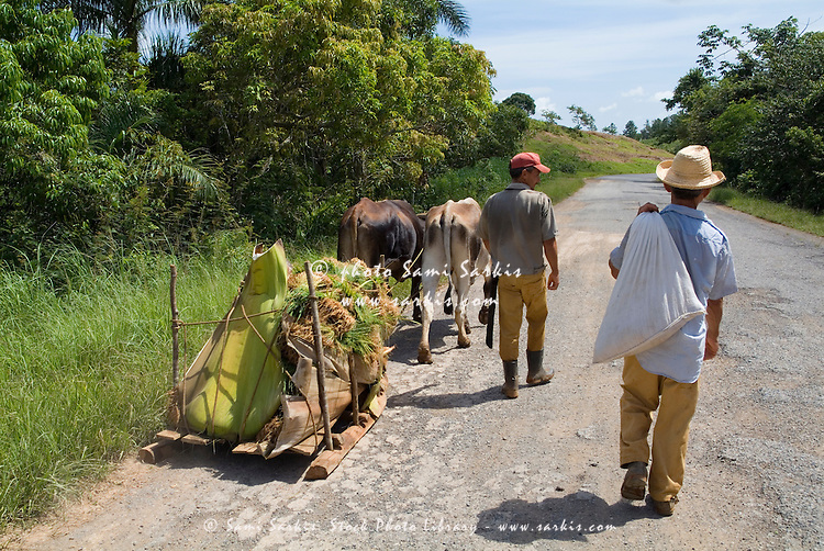 Farmers walking along a rural road with their cattle and plough, Vinales valley, Cuba.