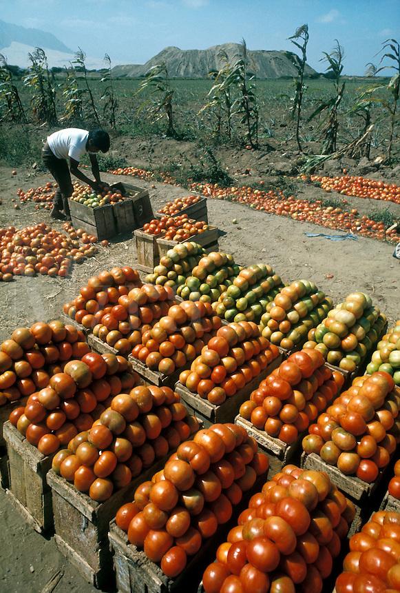 Tomato harvest near Trujillo, northern Peru; ruins in background are Huaca el Obisp