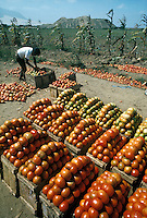 Tomato harvest near Trujillo, northern Peru; ruins in background are Huaca el Obisp