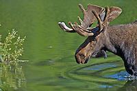 Bull Moose in pond in Grand Teton National Park