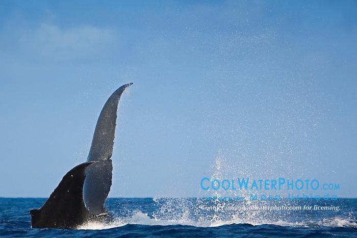 humpback whale, throwing peduncle, Megaptera novaeangliae, Big Island, Hawaii, Pacific Ocean