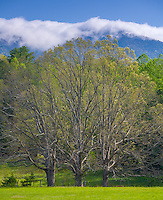 Great Smoky Mts. National Park, TN/NC<br /> Spring tree and open meadow in morning light - Cades Cove