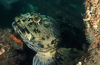 Cabezon on wreck in Puget Sound near Seattle, WA. Cabezon - Scorpaenichthys marmoratus
