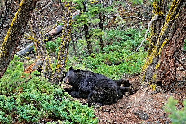 Black bear sow watches while her two young cubs sleep.  Western U.S., May.