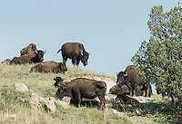 Bison at Theodore Roosevelt National Park in North Dakota. Shot for L'Express Magazine.