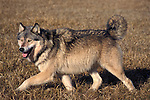 Timber or Grey Wolf, Canis Lupus, Minnesota  USA  .alert male trotting in grass, bristled fur after fighting, showing who is boss, dominance.USA....