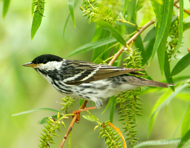 Adult male blackpoll warbler