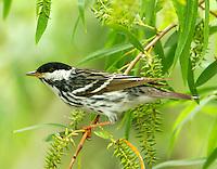 Adult male blackpoll warbler