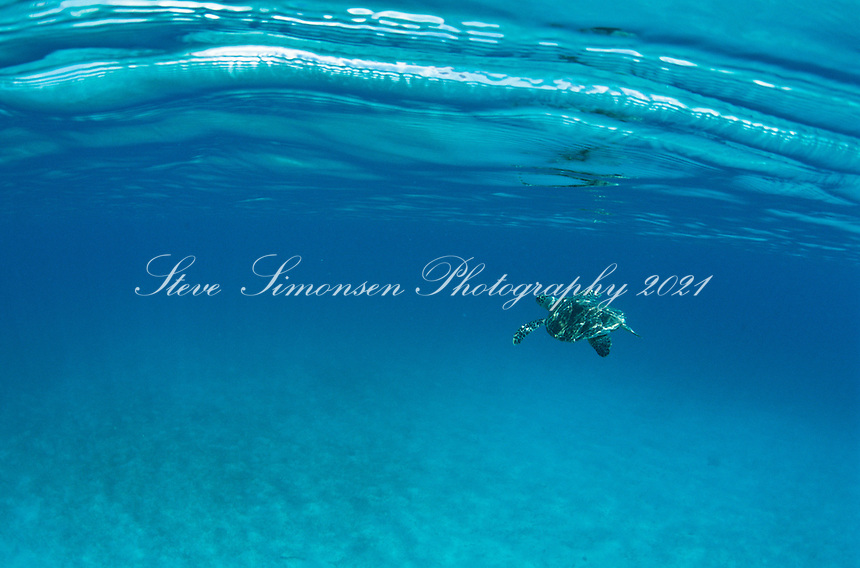 Turtle swimming in blue water<br /> St. John<br /> U.S. Virgin Islands