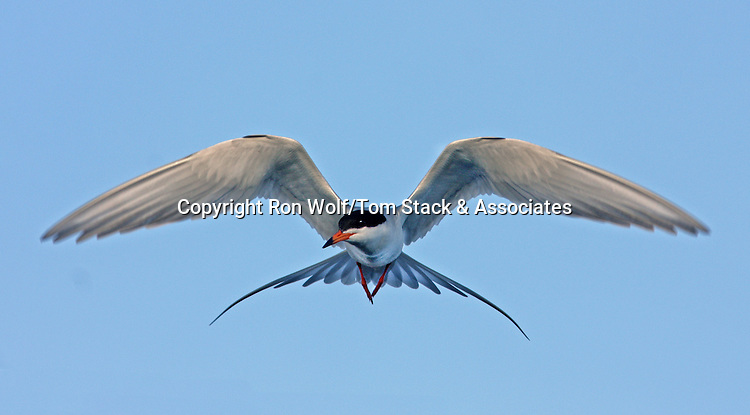 Forster's Tern (Sterna forsteri). Shoreline Park. Mountain View, Santa Clara Co., Calif.