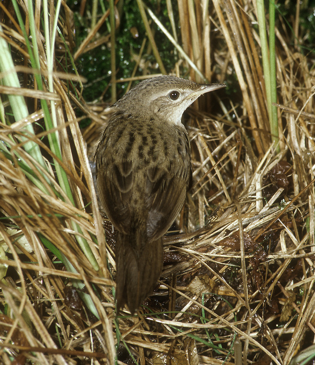 Grasshopper Warbler Locustella naevia L 13cm. Skulking, unobtrusive warbler, heard more often than it is seen. Sexes are similar. Adult has streaked olive-brown upperparts; underparts are paler but flushed buffish brown on breast. Long undertail coverts are adorned with dark streaks. Juvenile is similar but underparts are usually tinged yellow-buff. Voice Utters a sharp tssvet call. Song is reeling and insect-like; sung mainly at night. Almost inaudible to people with poor hearing. Status Local summer visitor to rank grassland with bramble patches and clumps of rushes.
