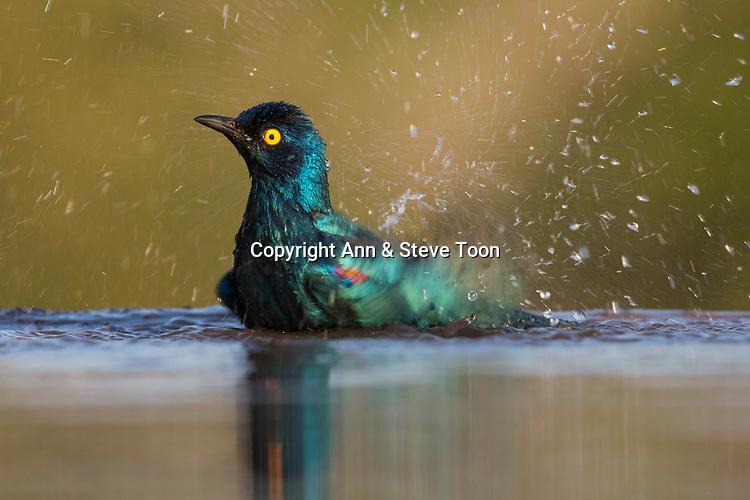 Cape glossy starling (Lamprotornis nitens) bathing, Zimanga private game reserve, South Africa, June 2017