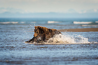 Brown Bear (Ursus arctos) pounces on a salmon with her claws outstretched.  Poor salmon had no where to go.  Lake Clark National Park, Alaska.