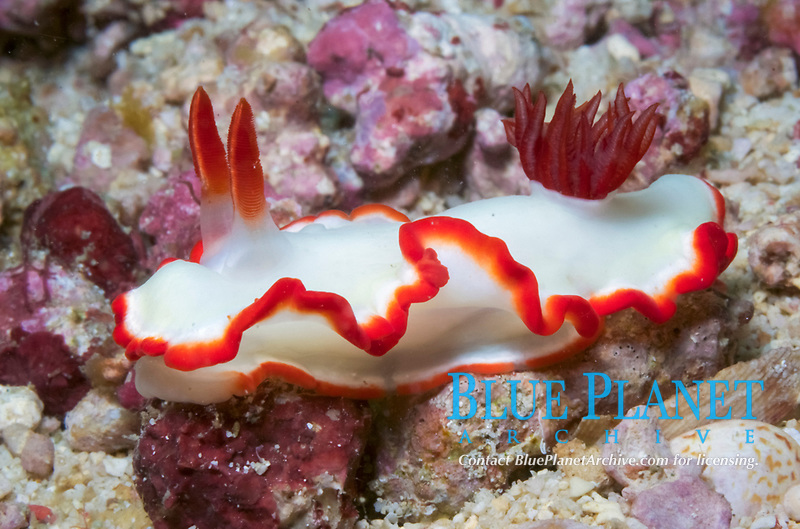 Nudibranch, Glossodoris averni, Mindoro, Philippines, West Pacific Ocean