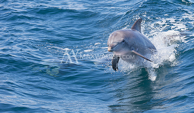 After our swim, the dolphins enjoyed riding our wake as we headed back to shore.