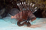 Lionfish, Invasive species, Grand Cayman
