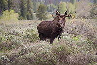 Moose in Grand Tetons National Park