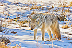 A lone coyote walks in the snow in Yellowstone.