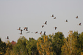 Canadian geese flying over top of forest