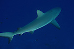 Siaes Corner, Palau -- Grey reef shark on the prowl.