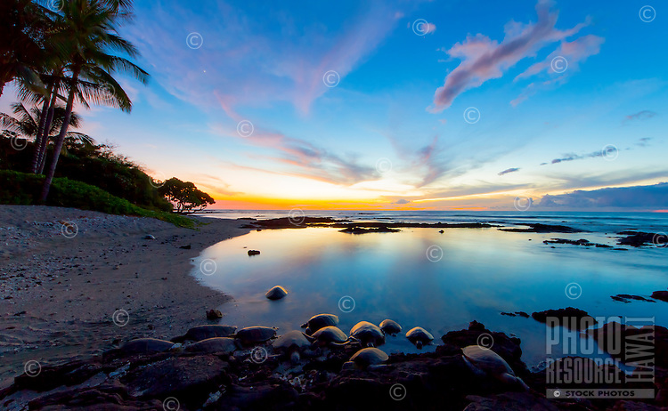 At dusk, 13 to 14 turtles come in from the ocean to rest on a private beach in Puako, Big Island of Hawai'i.