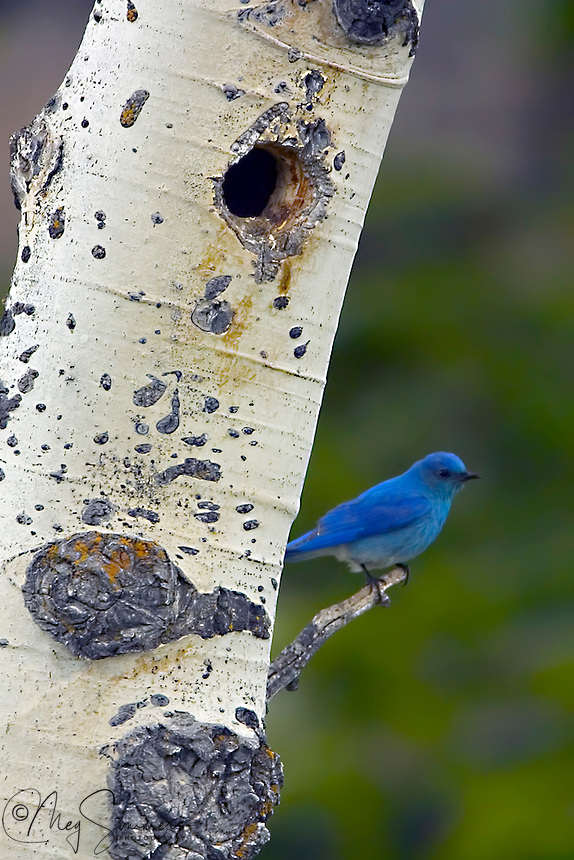 The Mountain Bluebird (Sialia currucoides) is a medium-sized bird weighing about 1.1 ounces. The Mountain Bluebird is migratory. Their range varies from Mexico in the winter to as far north as Alaska, throughout the western U.S. and Canada. Northern birds migrate to the southern parts of the range; southern birds are often permanent residents. Some birds may move to lower elevations in winter. They inhabit open rangelands, meadows, generally at elevations above 5,000 feet. Contrary to popular belief, Mountain bluebirds are not a species of concern in the United States. The turn around in Mountain bluebird numbers is due to the overwhelming efforts of landowners in the West to provide nest boxes for these birds. At one time, Mountain bluebird numbers were threatened because of increased competition for decreasing natural cavity nesting spots by invasive species such as House Sparrows and European Starling.<br />