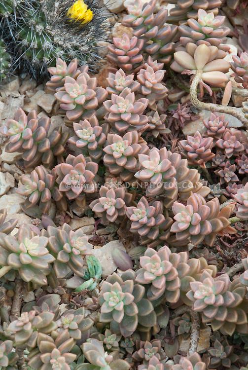 Stonecrop Sedum pachyphyllum