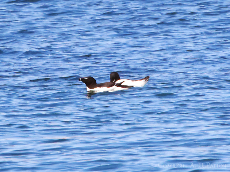 Adult razorbills in breeding plumage