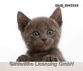 Kim, ANIMALS, REALISTISCHE TIERE, ANIMALES REALISTICOS, fondless, photos,+Blue kitten, with paws over.,blue, kitten, with, paws, over, cats, pets, animals, shorthair, kittens, portraits, head, white+background+++,GBJBWP45529,#a#, EVERYDAY