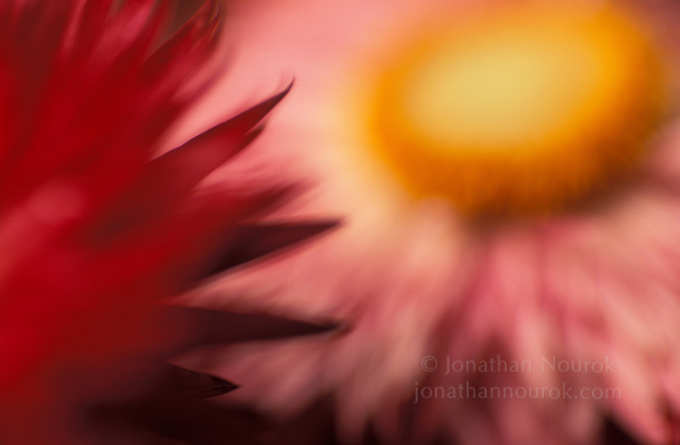 close-up of red / pink strawflowers