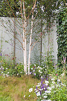 Birch trees in late spring garden woith flowers, Betula utilis