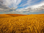 A beautiful landscape of a field of waving wheat with a blue sky and clouds.