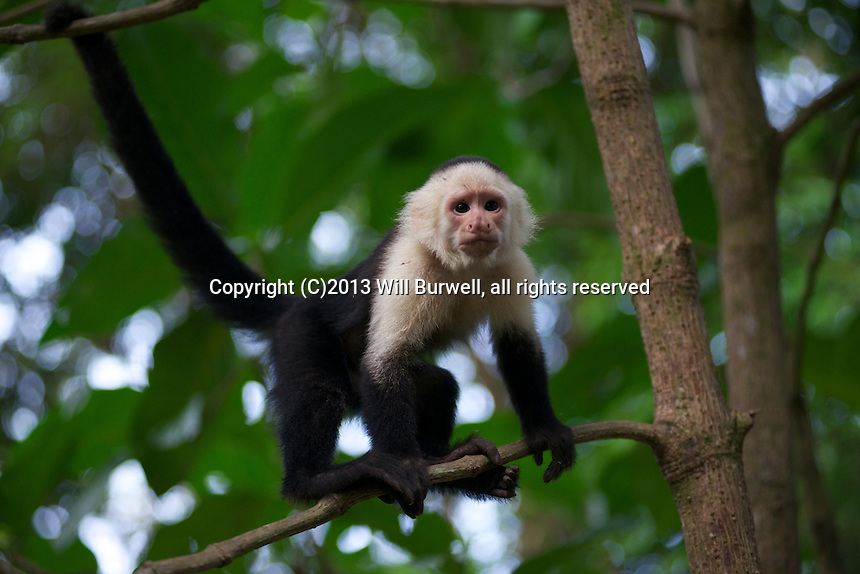 Capuchin looking at the camea