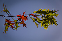 On a single branch, green leaves turn red as fall creeps in against a clear blue sky.