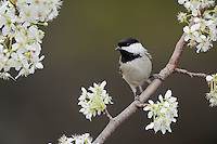 Carolina Chickadee, (Poecile carolinensis), adult on blooming Mexican Plum (Prunus mexicana), New Braunfels, San Antonio, Hill Country, Central Texas, USA